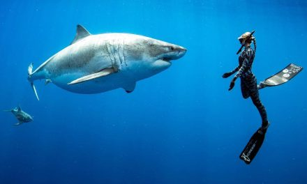 Ocean Meets 7m Great White Mama